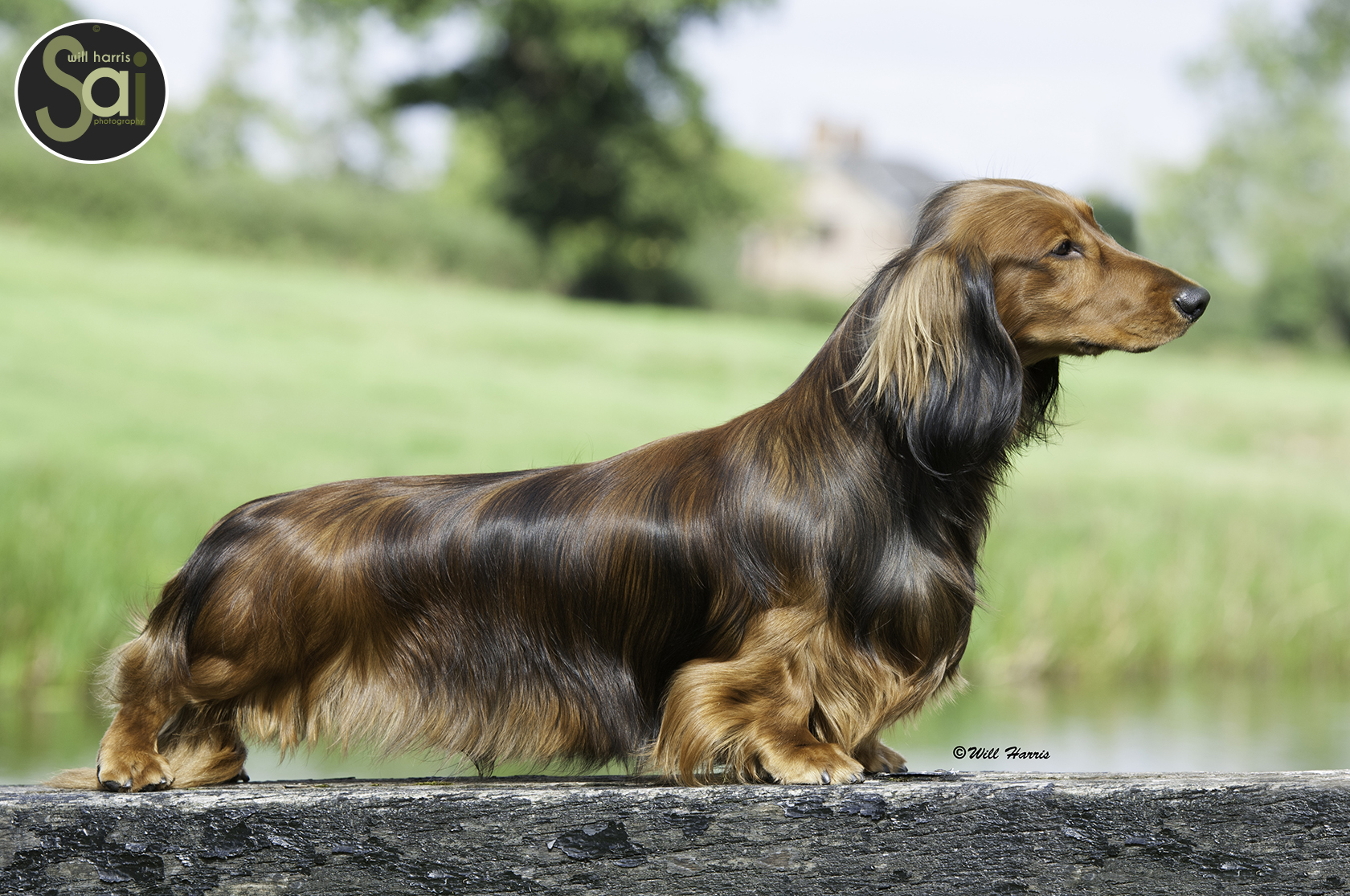 Zarcrest – UK Top Dachshund Hobby Breeders & Show Kennel. - photo#45